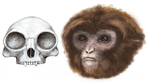 The Common Ancestor Of All Apes Including Great And Humans May Have Been Not So In Stature