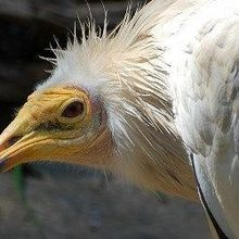 Vultures in Africa Threatened