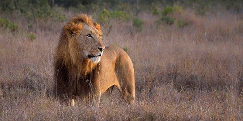 Lions Declining in Africa
