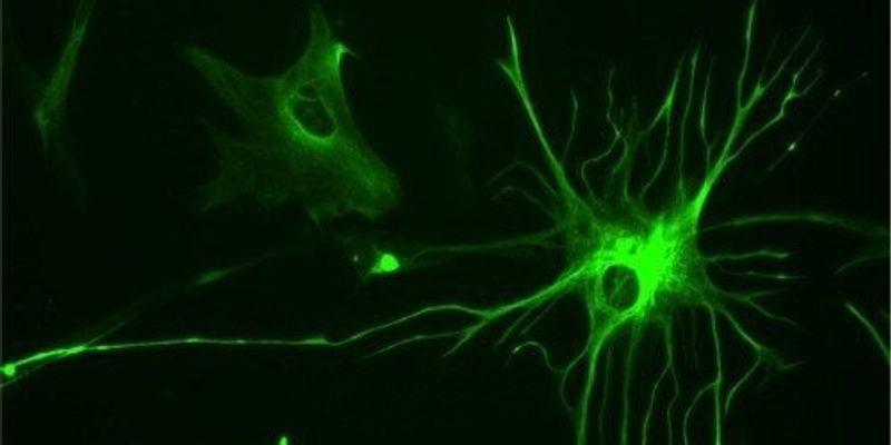 Neurons from Glia In Vivo