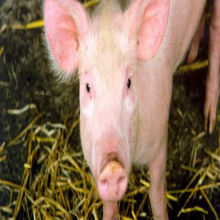 Modified Pigs as Organ Donors?