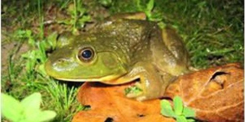 Frog Microbes May Help Fight Disease