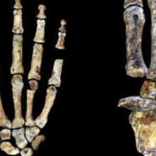 <em>Homo naledi</em>'s Hands and Feet