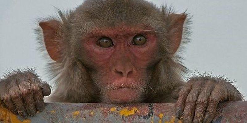 Optogenetics Advances in Monkeys