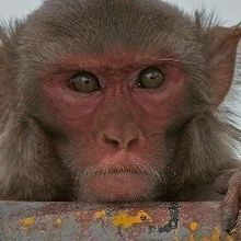 Optogenetics Advances in Monkeys