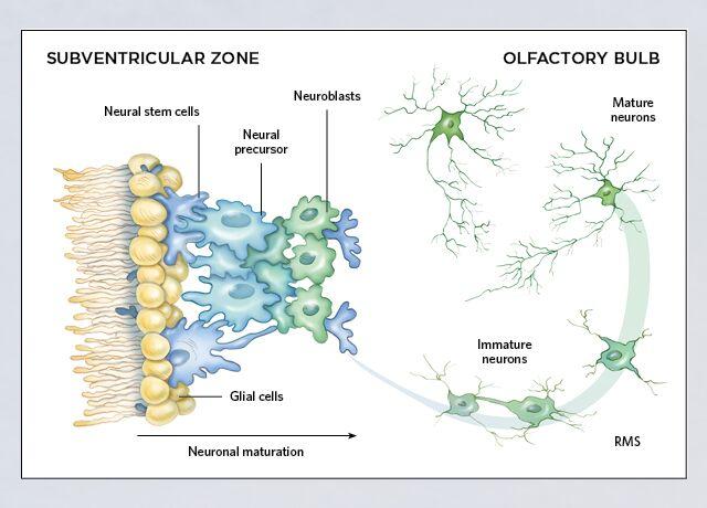 Neurogeneesi