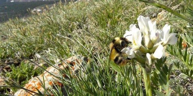 Bumblebee Tongues Growing Shorter