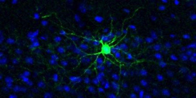 Identity-Shifting Brain Cells