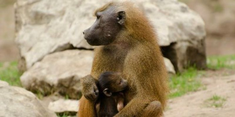 OU Baboon Program to Close