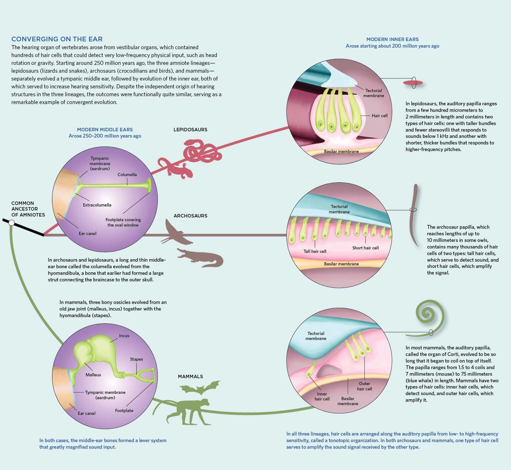 Aural History | The Scientist Magazine®