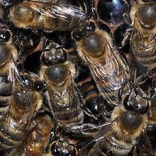 Phytochemical Helps Differentiate Workers from Queen Bees