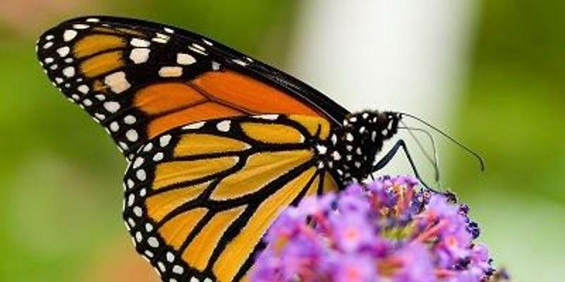 Butterflies in Peril