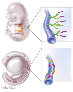 Rethinking Lymphatic Development   The Scientist Magazine®