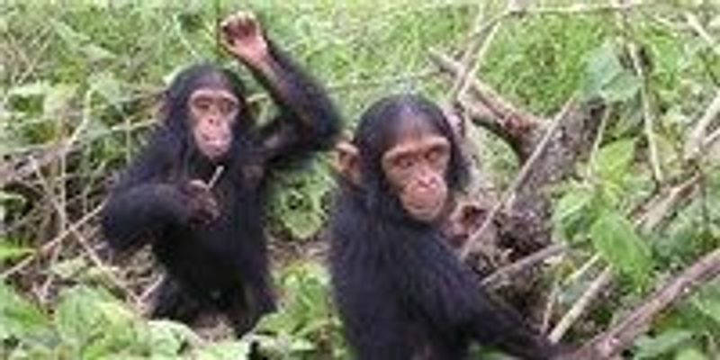 Judge: Chimps Are Not Legal Persons