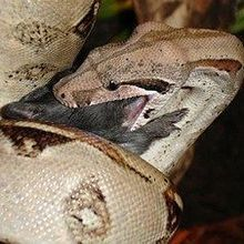 How Boas Kill