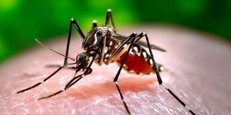 GM Mosquito Cuts Wild-Type Numbers