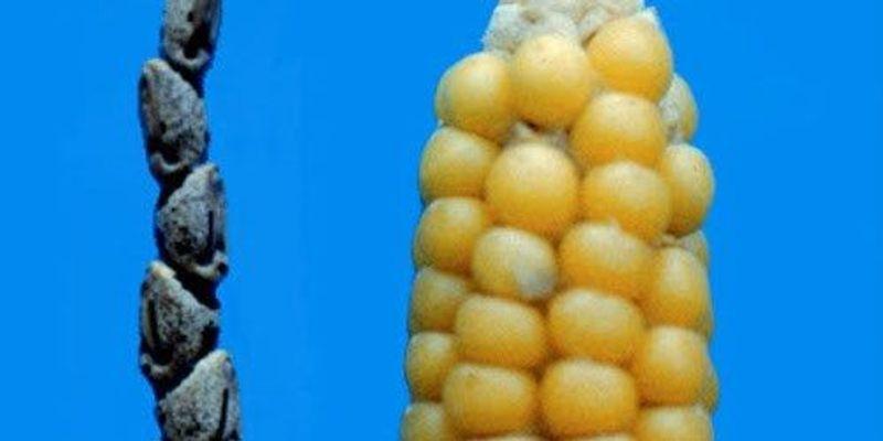 Small Genetic Change Yields Edible Corn