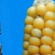Small Genetic Change Yields Edible Corn