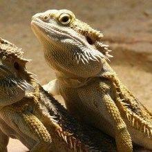 Lizard Swaps Mode of Deciding Its Sex
