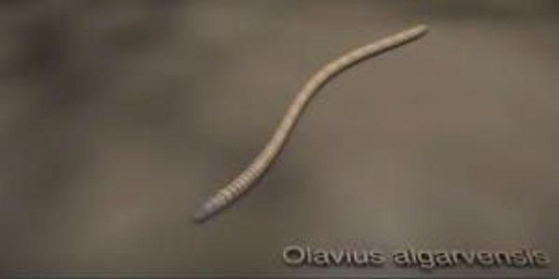 Gutless Worm