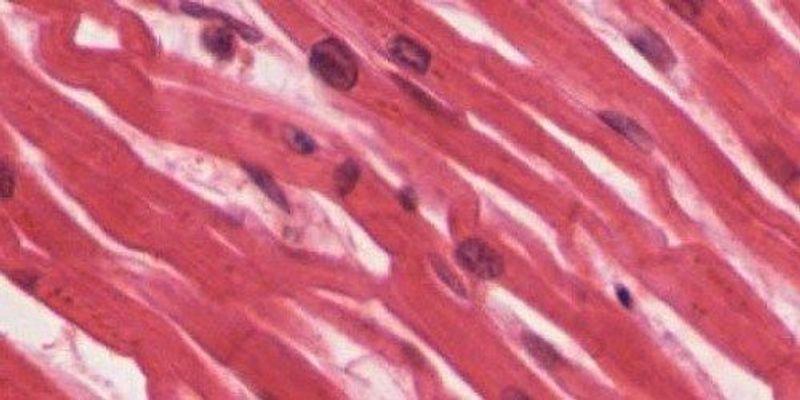 Regenerative Cardiomyocytes Found