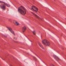 Regenerative Cardiomyocytes Found