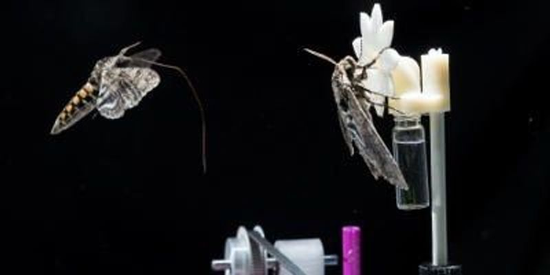 Hawkmoth Brains Slow During Dusk Meals