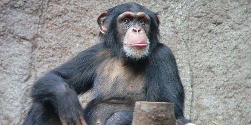 Captive Chimps Endangered, Too