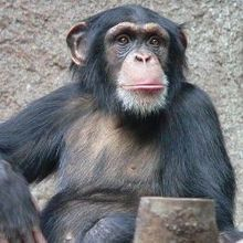 Captive Chimps Endangered, Too