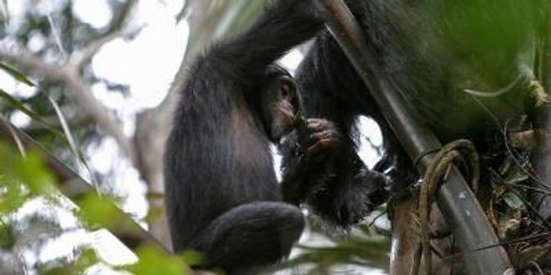 Tippling Chimps Caught in the Act