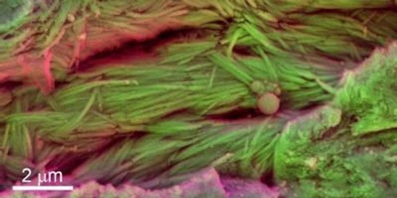 Soft Tissue Detected in Millennia-Old Dino Bones