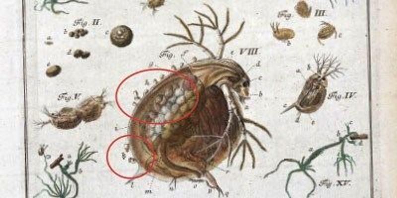 Water Fleas, 1755