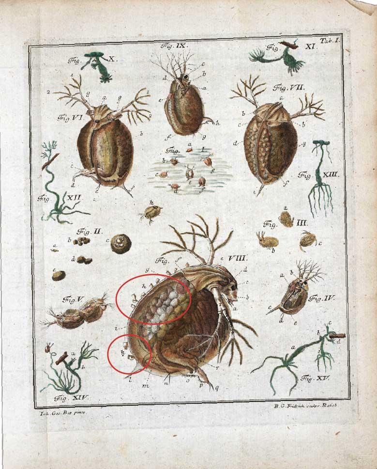 Water Fleas, 1755 | The Scientist Magazine®