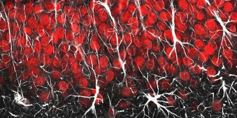 Image of the Day: Amazing Astrocytes