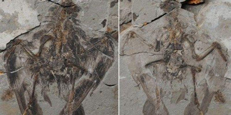 Oldest Ancestor of Modern Birds Found