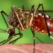 Mosquitoes Play Genetic Favorites