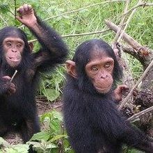 Judge to Stony Brook: Justify Keeping Research Chimps