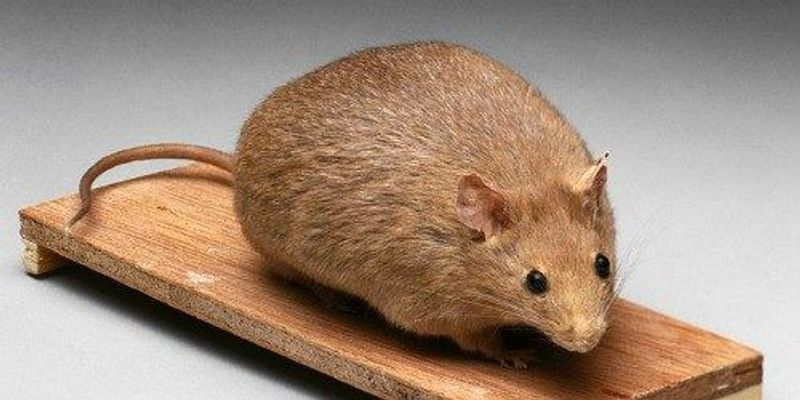 Fat Injection Slims Obese Mice