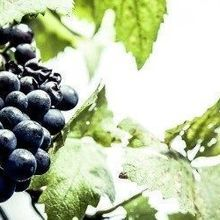 Soil Bacteria Live on Wine Grapes
