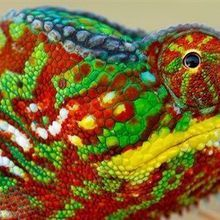 How Chameleons Change Colors
