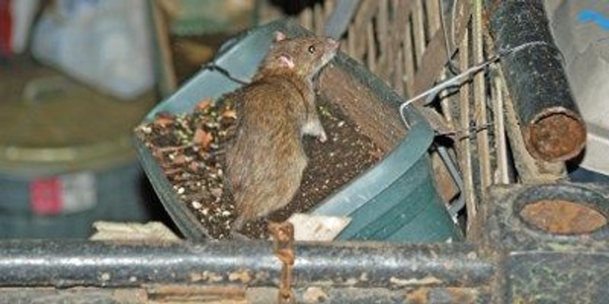 Nyc Rats Harbor Plague Fleas The Scientist Magazine