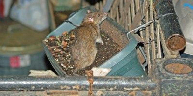 NYC Rats Harbor Plague Fleas