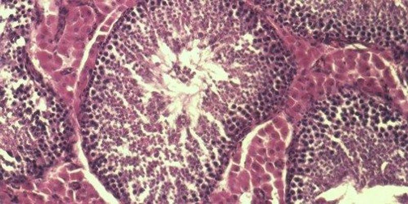 Sperm Stem Cell Maintenance