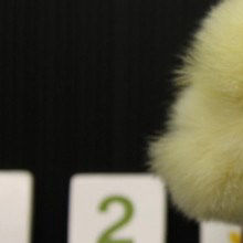Counting Chicks?