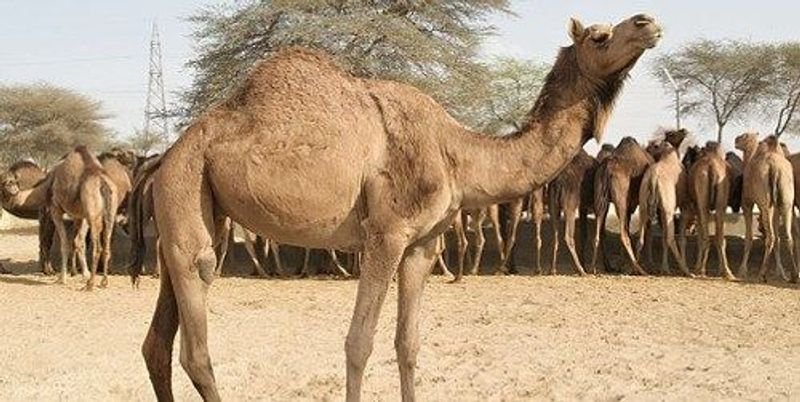 Camels' Role in MERS Contagion Questioned