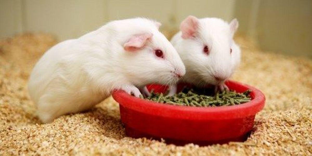 guinea pigs to model ebola spread the scientist magazine