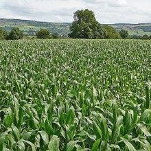 Europe Softens on GM Crops