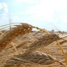 Barley Key to Mankind's Alpine Incursion