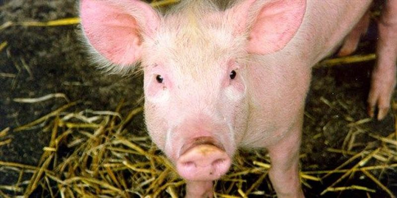 Researchers Succeed in Keeping Disembodied Pig Brains Alive