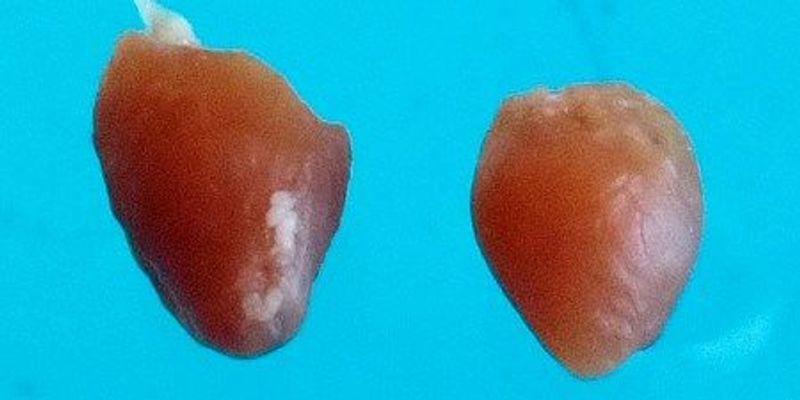 Study Explains How Newborn Mice Can Regrow Damaged Hearts